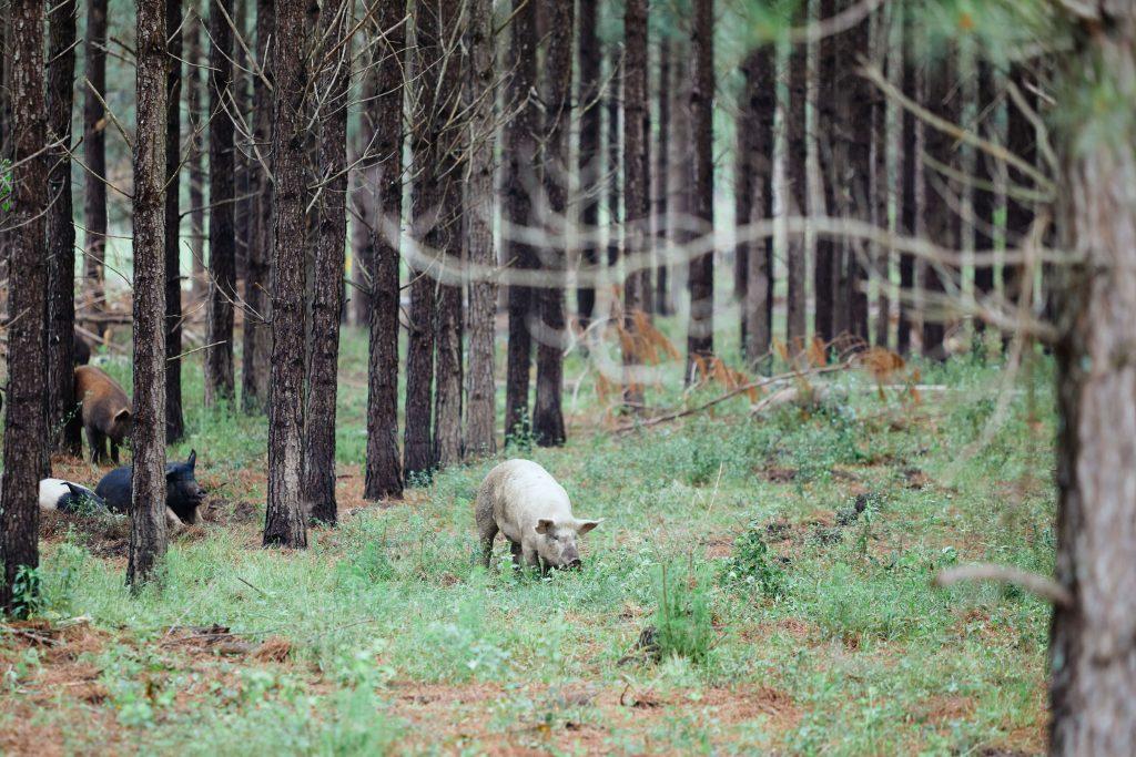 White Oak Pastures hogs 1