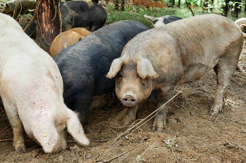White Oak Pastures hogs 2