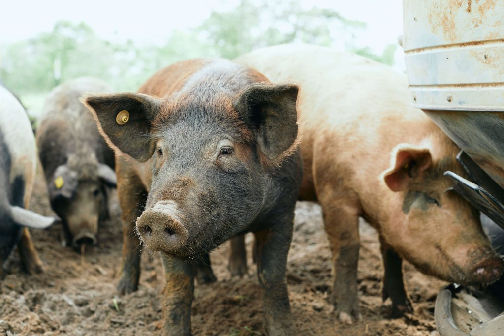 White Oak Pastures hogs pasture raised pigs
