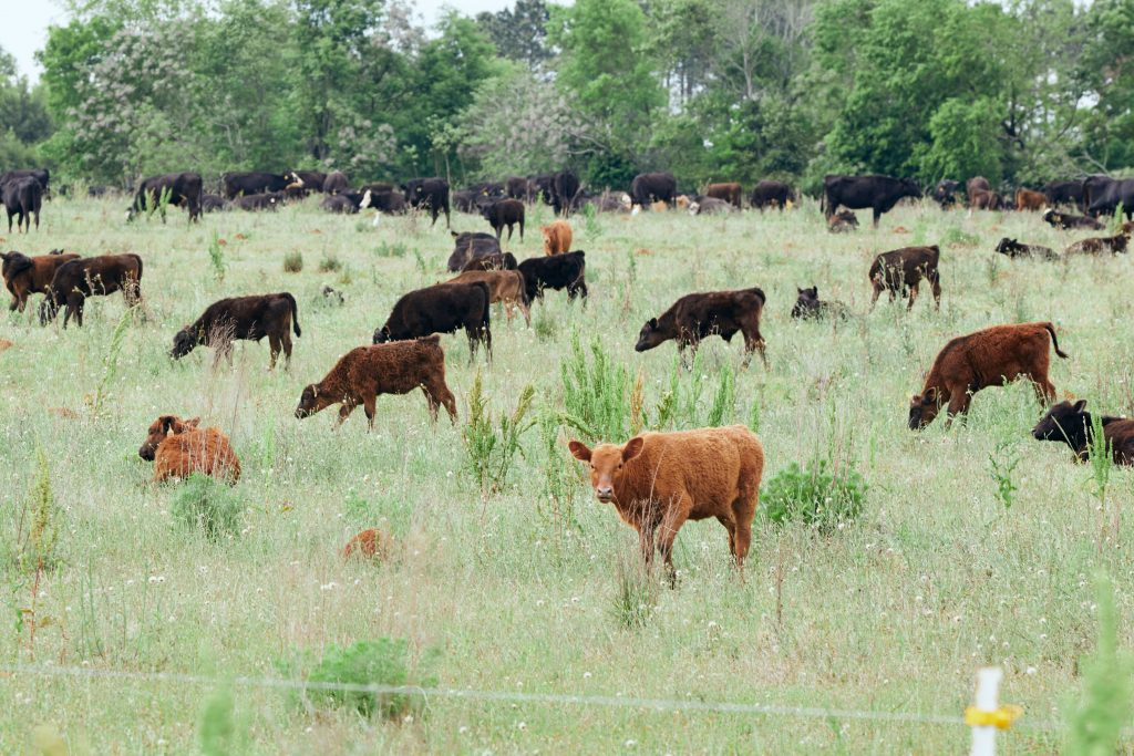 White Oak Pastures cattle grazing pasture